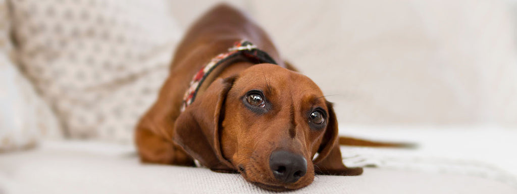 Top 5 Leading Causes of Death in Dogs
