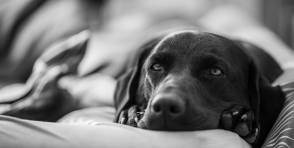 black labrador ketoacidosis in dogs