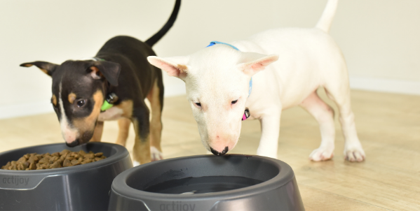 bullterier puppies eating from actijoy smart bowls wearing a dog tracker