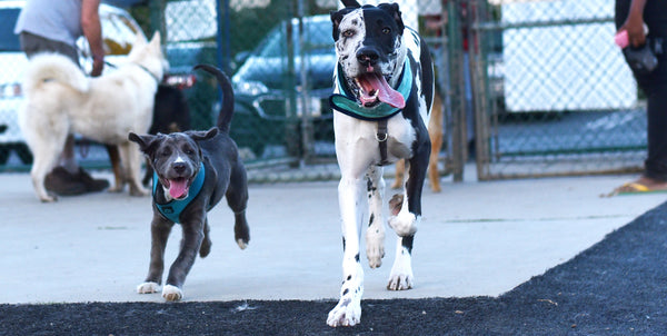 Top 10 Best Large Dog Breeds For First Time Dog Owners