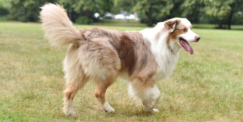 Top 10 Dog Breeds With Longest Life Span Actijoy