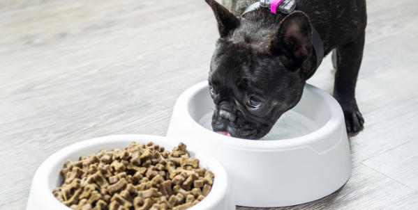 french bulldog eating and drinking from smart bowls