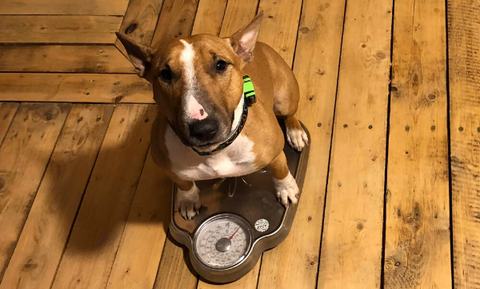 dog standing on a scale