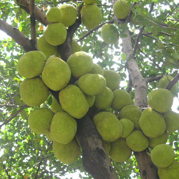 Jack Fruit by TPA Paragon Flavours