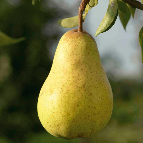 Pear by Super Concentrate Paragon Flavours