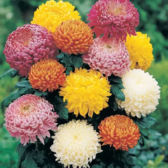 multi-color chrysanthemum blooms