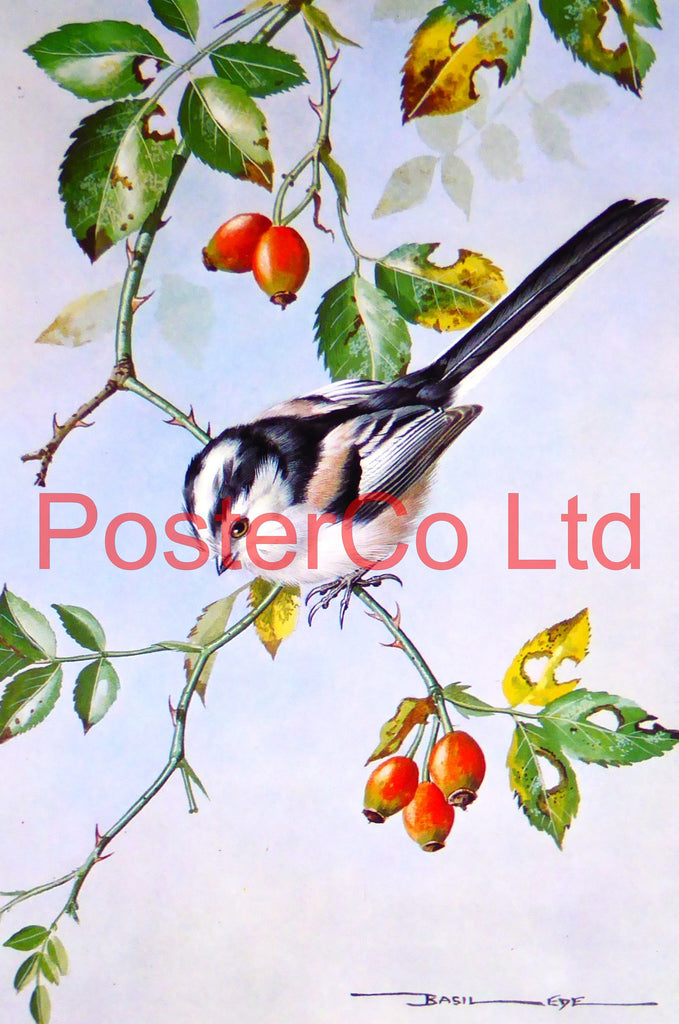"Long Tailed Titmouse - Basil Ede - Framed Vintage Poster Print - 16""H x 12""W (Royle Publications 1975)"