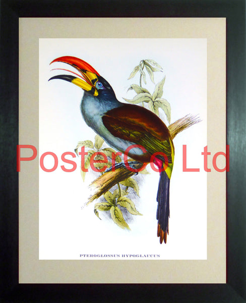 "Pteroglossus Hypoglaucus (Toucan) - J&E Gould - Framed Vintage Poster Print - 12""H x 16""W"