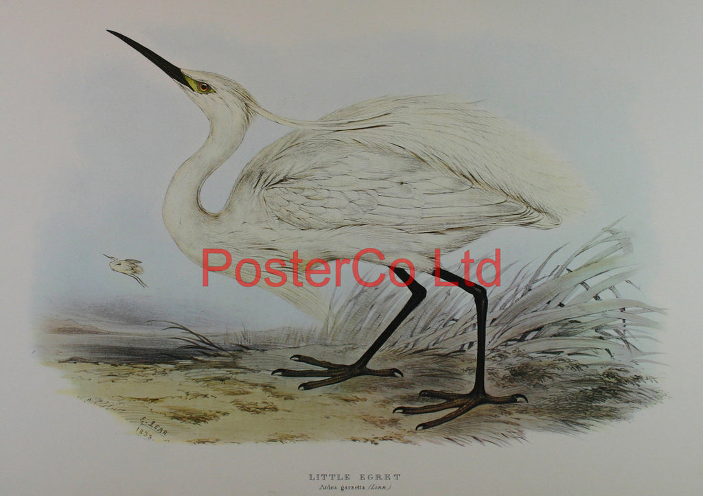 "Little Egret (Ardea Garzetta) by Edward Lear - Framed Print - 20""H x 16""W"