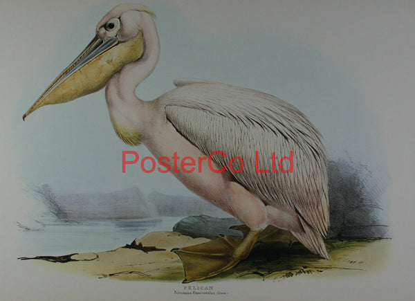 "Pelican (Pelecanus Onocrotalus) by Edward Lear - Framed Print - 16""H x 20""W"