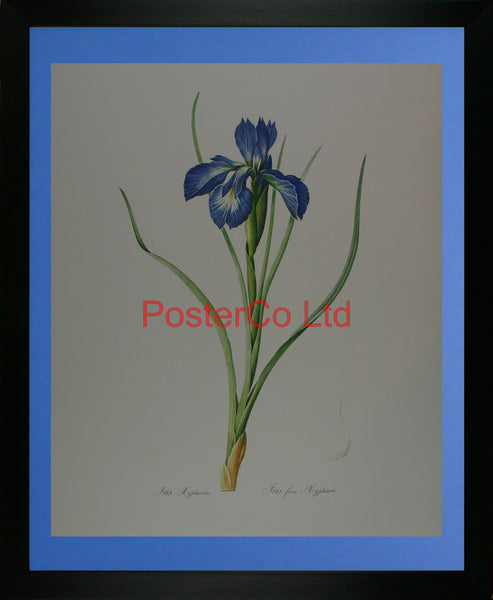 "Iris Cyphioides - Kingfisher Publishing - Framed Print - 20""H x 16""W"