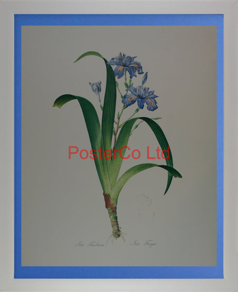 "Iris Fimbriata - Kingfisher Publishing - Framed Print - 20""H x 16""W"