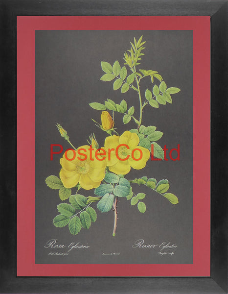 "Rosa Eglanteria  (1) - (Yellow Rose, Black background) - Framed Print - 16""H x 12""W"