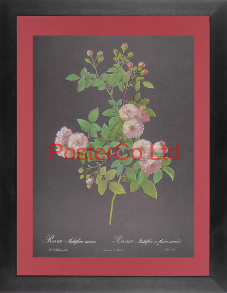 "Rosa Multiflora Carnea - (Black background) - Framed Print - 16""H x 12""W"