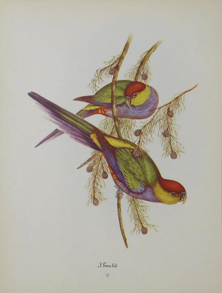 Red Capped Parrot John Gould
