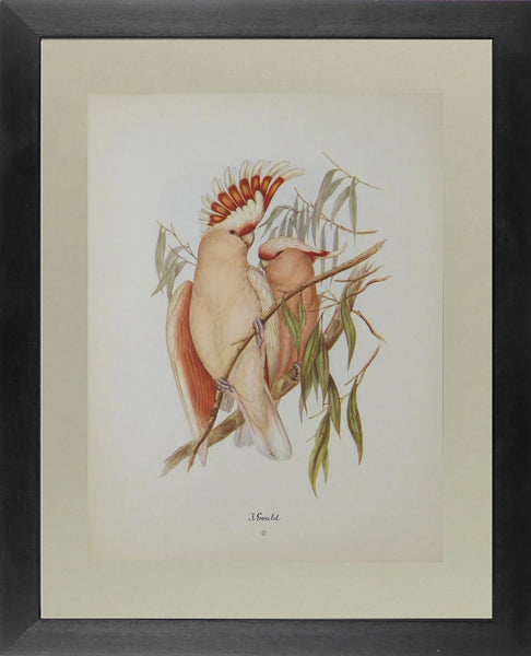 Major Mitchell's cockatoo John Gould