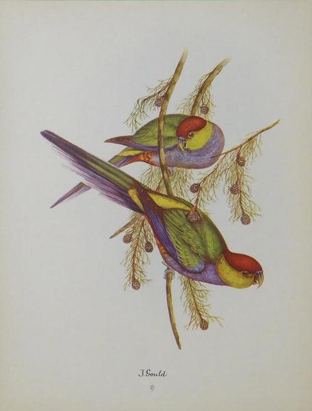 Red Capped Parrot John Gould (2)