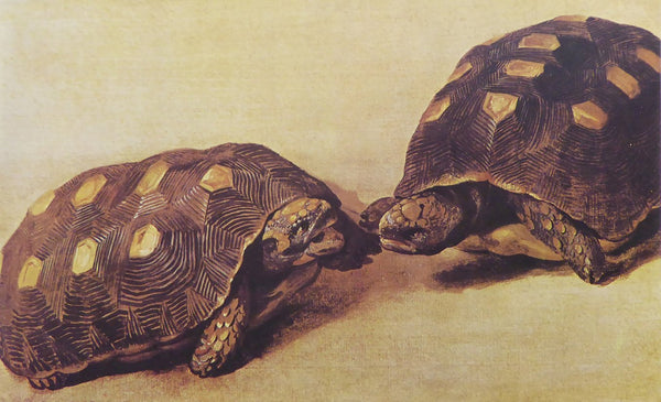 Two Brazilian Tortoises Albert Eckhout