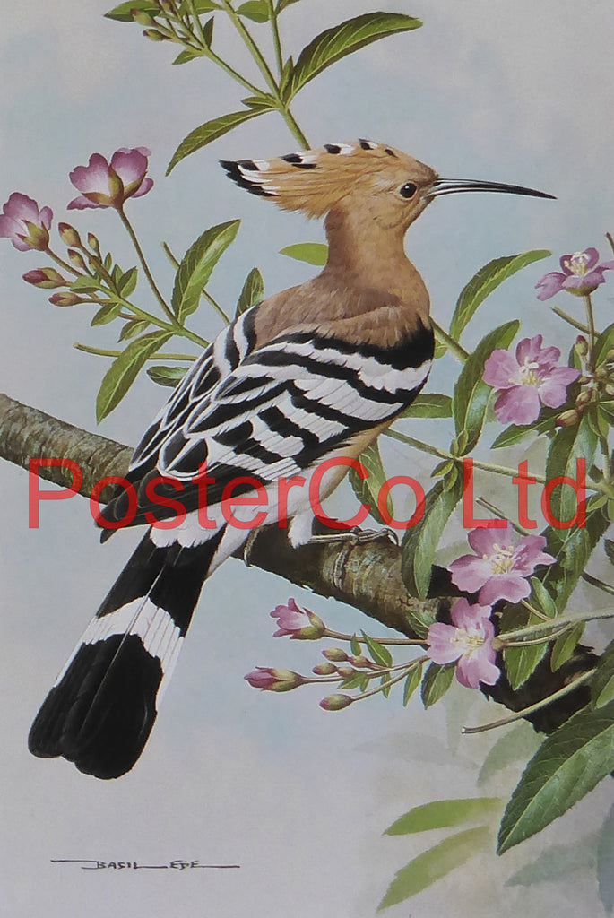 "Hoopoe - Great Willow Herb - Basil Ede - Royle 1975 - Framed Vintage Poster Print - 16""H x 12""W"