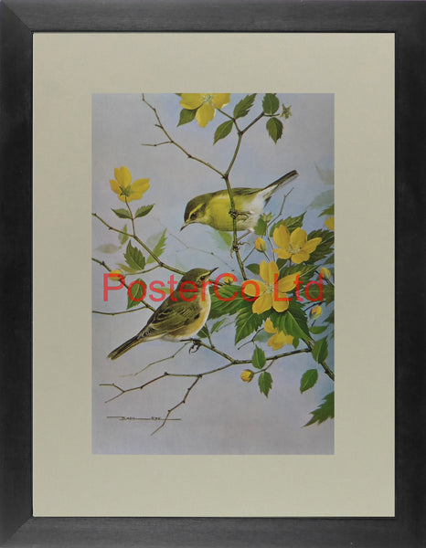 "Willow Hen and Chiffchaff Kerria Japonica - Basil Ede - Royle 1975 - Framed Vintage Poster Print - 16""H x 12""W"