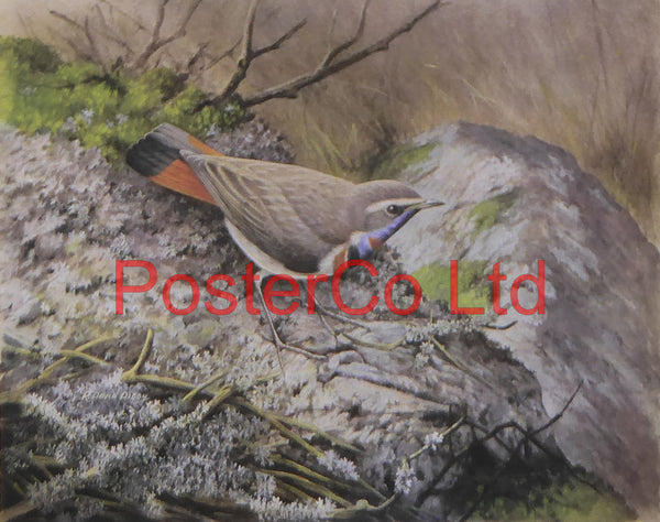 "Red-Spotted Bluethroat - R.David Digby - Framed Vintage Poster Print - 12""H x 16""W"