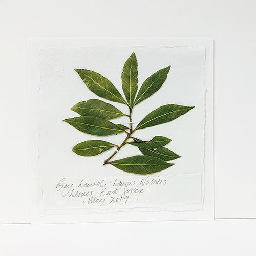Bay Laurel Leaf Original by Peta King | 9 x 9 Pressing