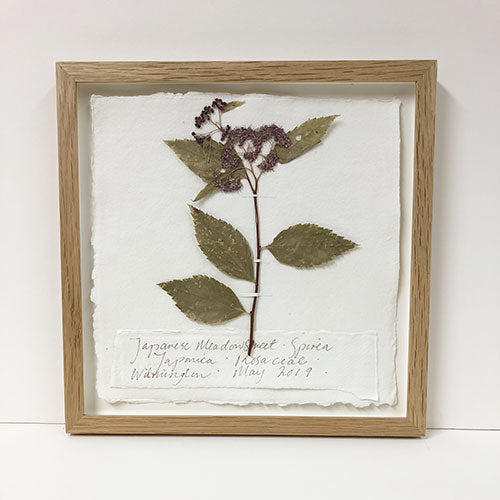 Framed 9 x 9 | Pressed Japanese Meadowsweet Original by Peta King