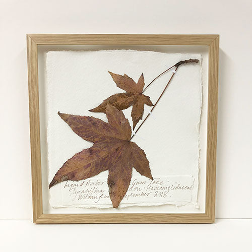 Framed 9 x 9 | Pressed Sweet Gum Original by Peta King