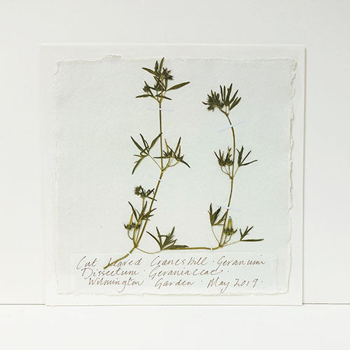 Pressed Cut-Leaved Cranesbill Original by Peta King