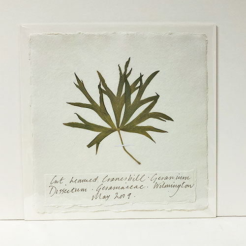 Pressed 9 x 9 Cut-Leaved Cranesbill Original by Peta King