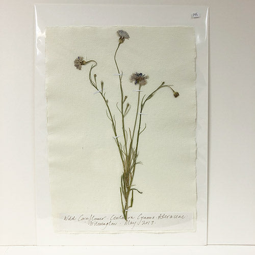 Pressed A2 Cornflower Original by Peta King