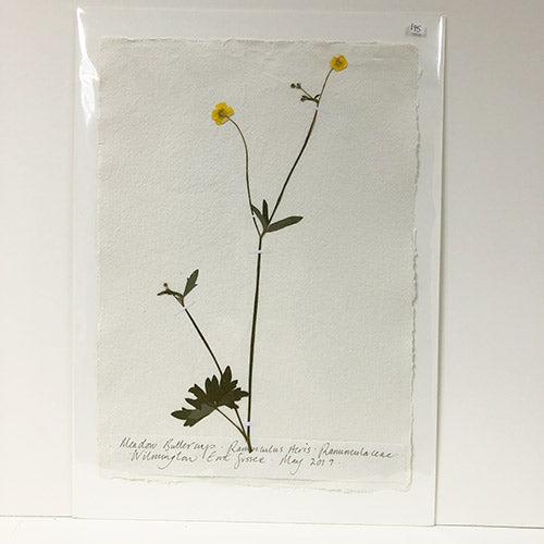 Pressed A2 Buttercup Original by Peta King