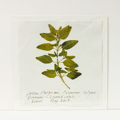 Pressed 9 x 9 Golden Marjoram Original by Peta King