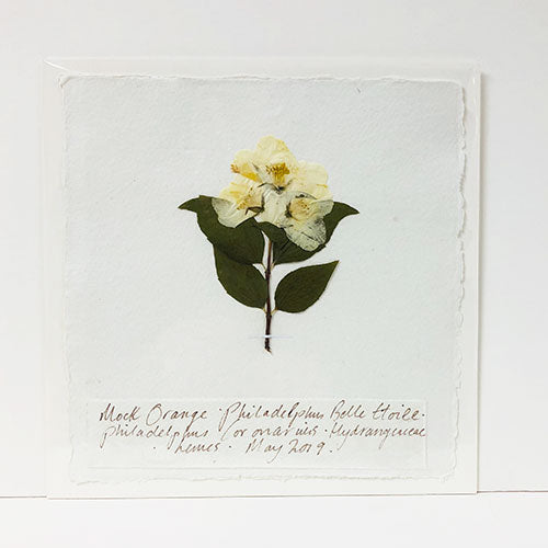Pressed 9 x 9 Philadelphus Original by Peta King