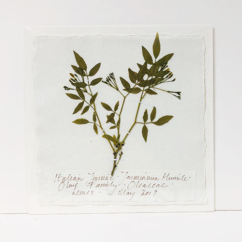 Pressed 9 x 9 Italian Jasmine Original by Peta King