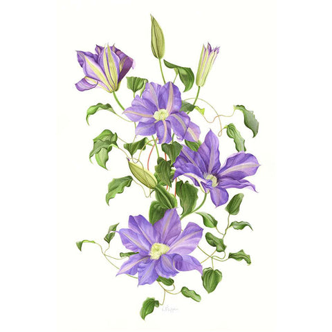 Blue Clematis By Vicky Mappin