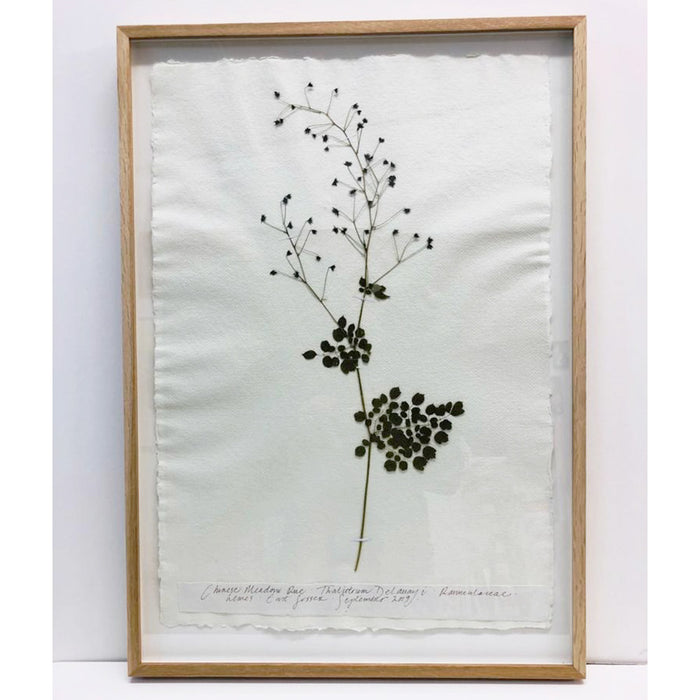 Framed A2 | Pressed Meadow Rue II Original by Peta King