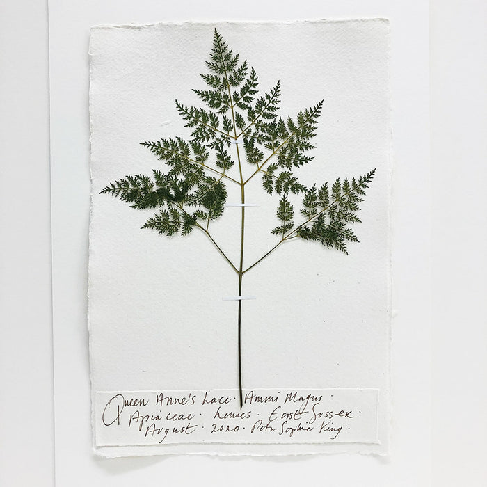 Queen Anne's Lace Original by Peta King | A4 Pressing