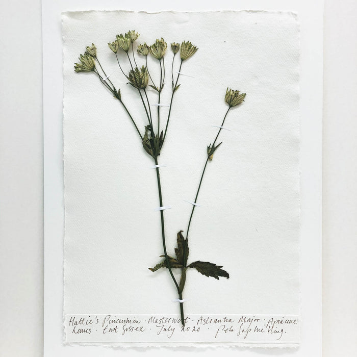 Astrantia Original by Peta King | A3 Pressing
