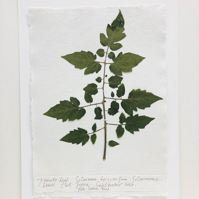 Tomato Leaf Original by Peta King | A3 Pressing
