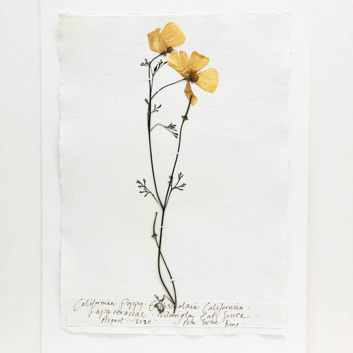 California Poppy Original by Peta King | A3 Pressing