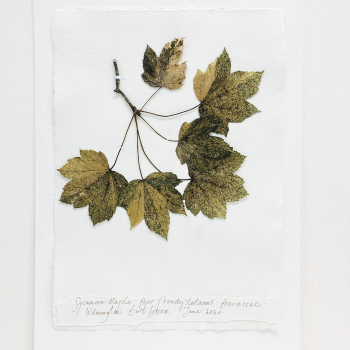 Sycamore Maple I Original by Peta King | A3 Pressing
