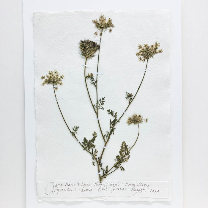 Queen Anne's Lace II Original by Peta King | A3 Pressing