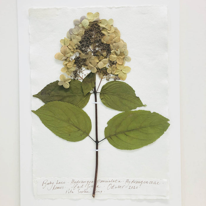 Hydrangea Original by Peta King | A3 Pressing