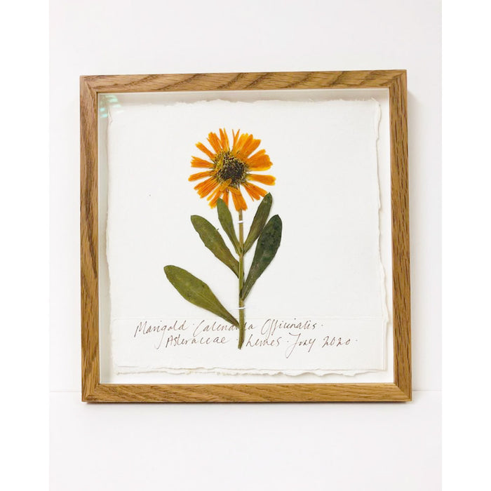 Framed 9 x 9 | Pressed Marigold I Original by Peta King