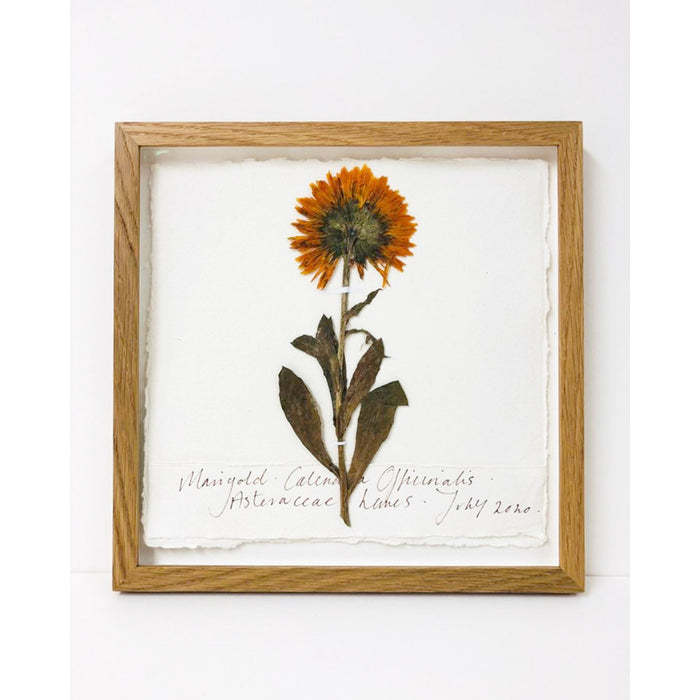 Marigold I Original by Peta King | 9 x 9 Pressing Framed