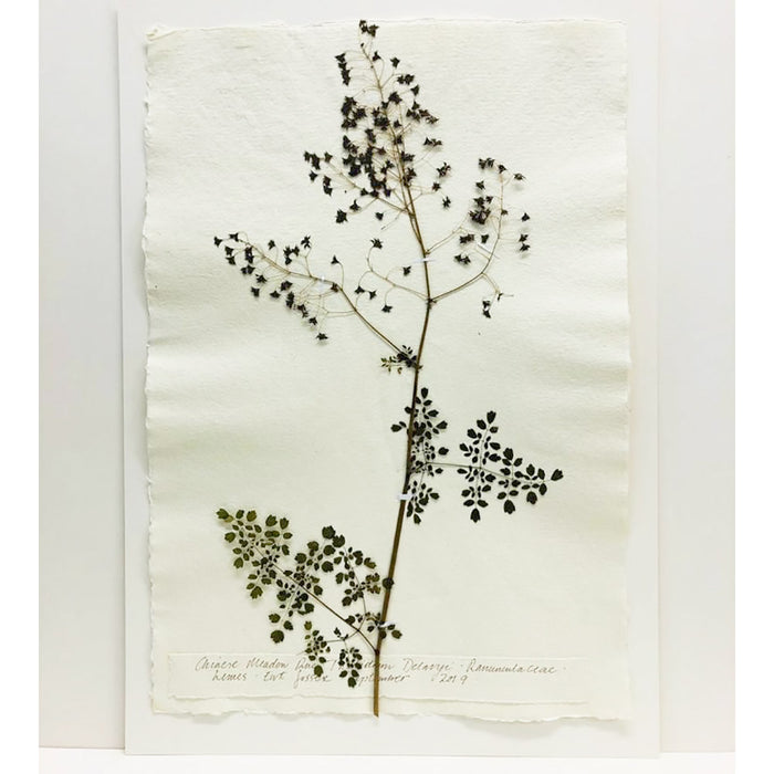 Pressed A2 Meadow Rue IIII Original by Peta King