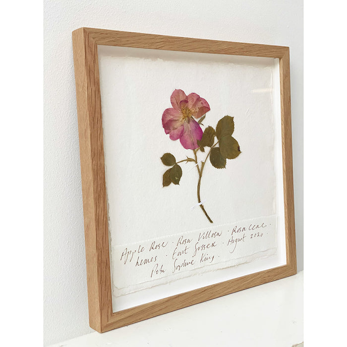 Apple Rose Original by Peta King | 9 x 9 Pressing Framed