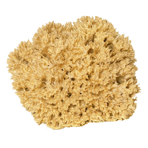 Natural Honeycomb Sea Sponge