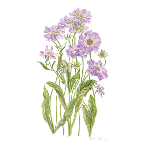 Scabious By Vicky Mappin